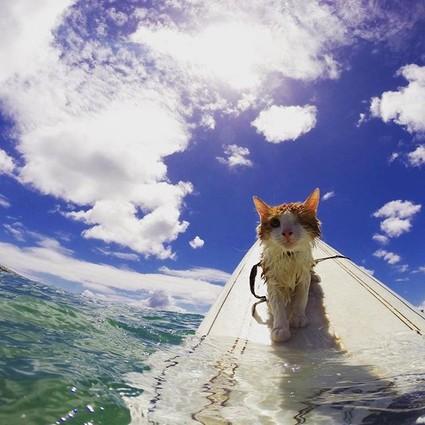 这只住在夏威夷的猫咪,在失去一只眼睛后竟爱上了冲浪!