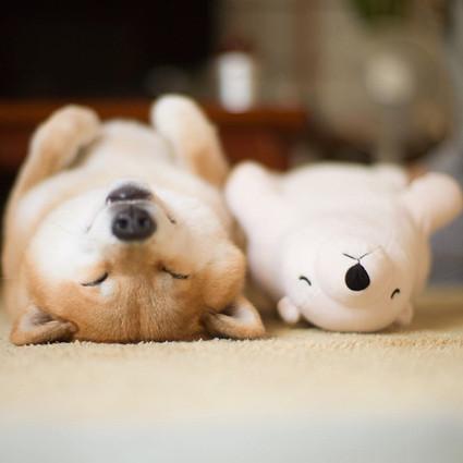 这只柴犬爱上了它的玩偶,各种姿势睡在一起
