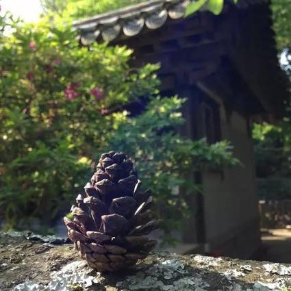 松子吃过很多,却不知道松塔盆栽那么美