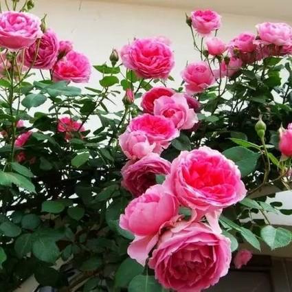 赏中国十大名花,听十首咏花老歌