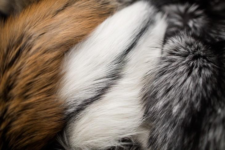 SAGA-fox
