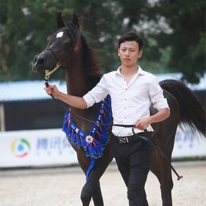 中国首届阿拉伯马选美大赛将于8月4、5日于北京多美国际马术中心举办